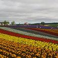 富良野の花畑(四季彩の丘)
